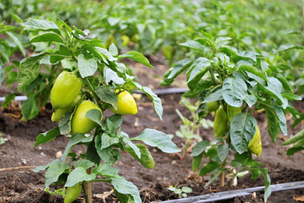 Выращиваем перец острый и сладкий