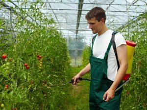 Применение фунгицидов для томатов
