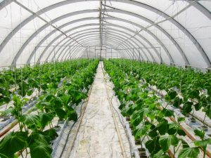 Применение гидропоники для выращивания огурцов