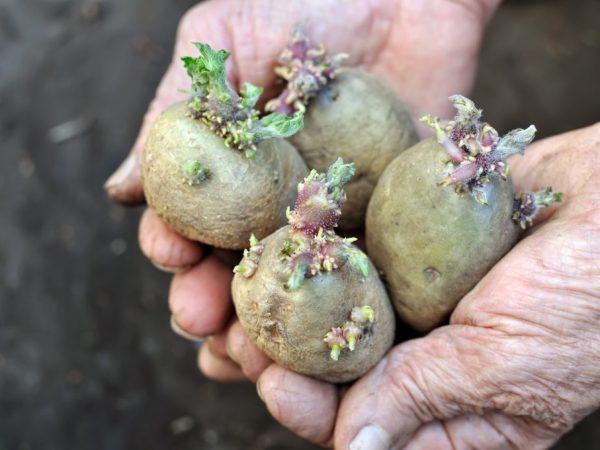 Высадку картофеля можно начинать в середине марта