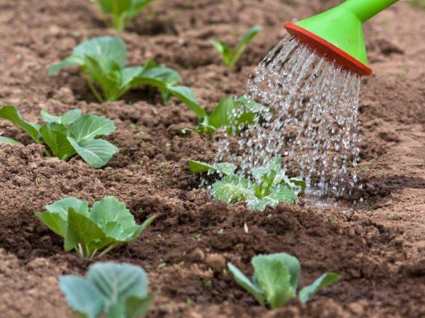 как часто поливать капусту в открытом грунте