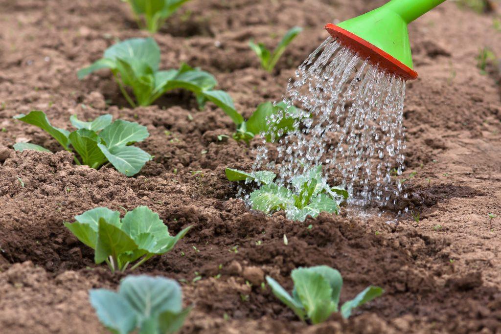 Когда прекращать поливать капусту