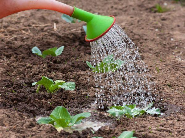 Удобрения на основе дрожжей для подкормки капусты