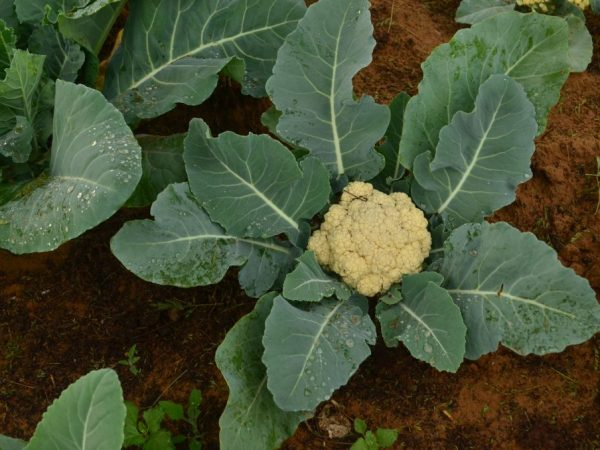 Подкормка цветной капусты