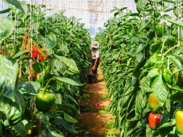 Удаление лишних отростков повысит урожайность