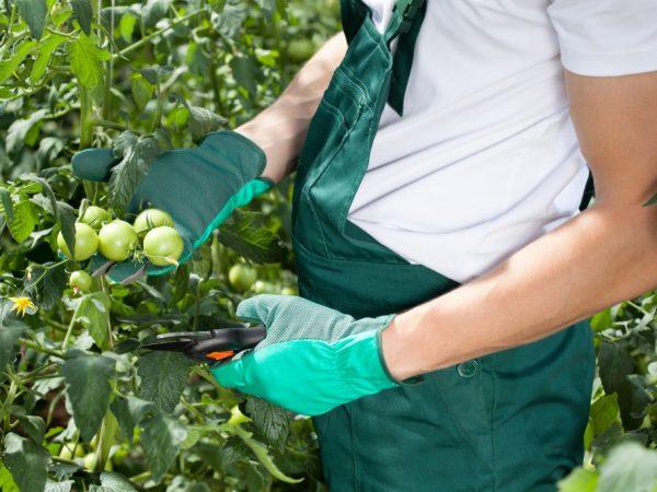 Правила обрезки помидоров в теплице