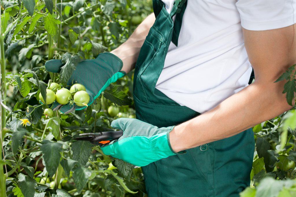 Правила обрезки кустов помидоров в теплице
