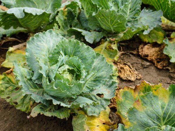 Борьба с килой капусты