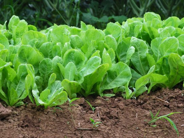 Растение требовательно к почве