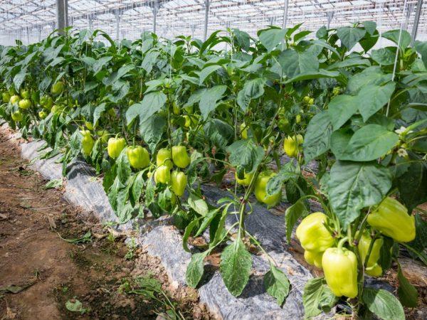 Правила посадки салатного перца на Урале