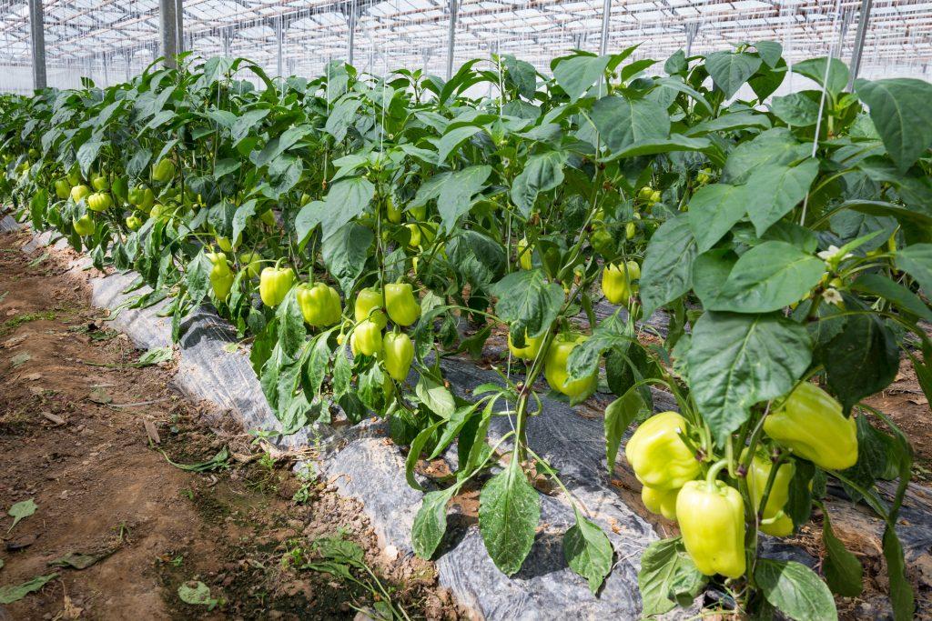 Выращивание перцев в открытом грунте на Урале