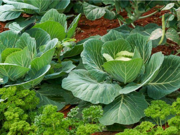 При высаживании капусты важно соблюдать дистанцию