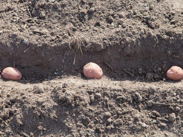 При посадке картофеля соблюдают дистанцию