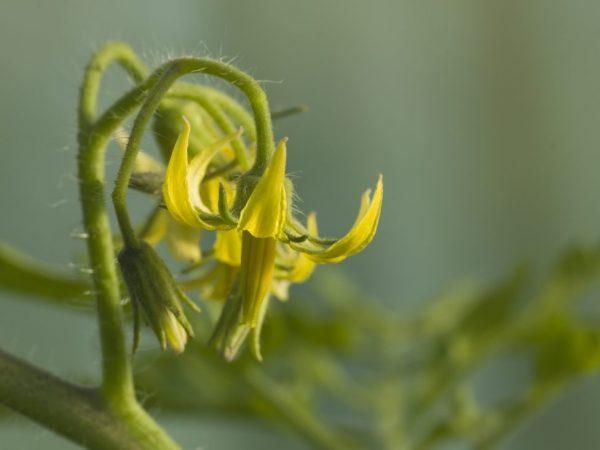 Махровые цветы на томатах