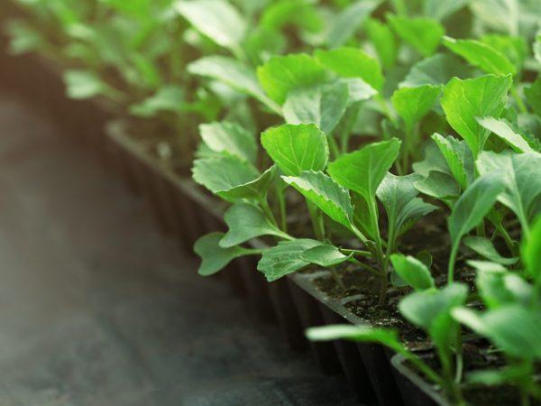 Рассадный метод посадки ускоряет получение урожая