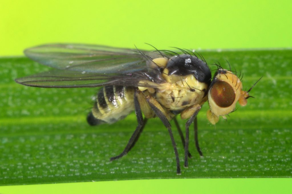 Капустная муха и меры борьбы с ней