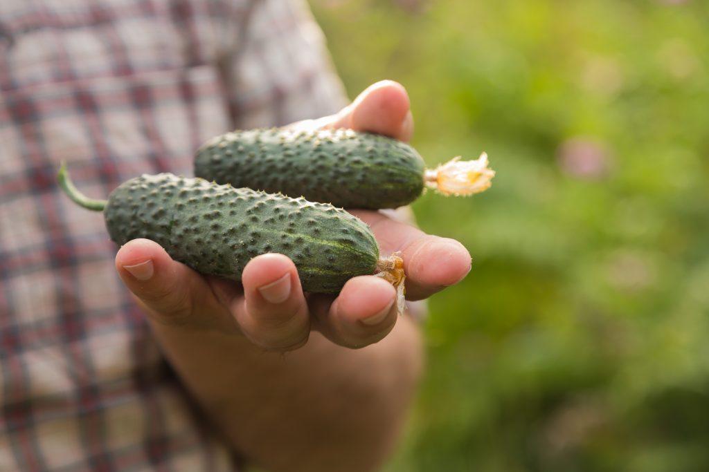 Огурец Муравей F1: описание сорта, фото, отзывы, урожайность