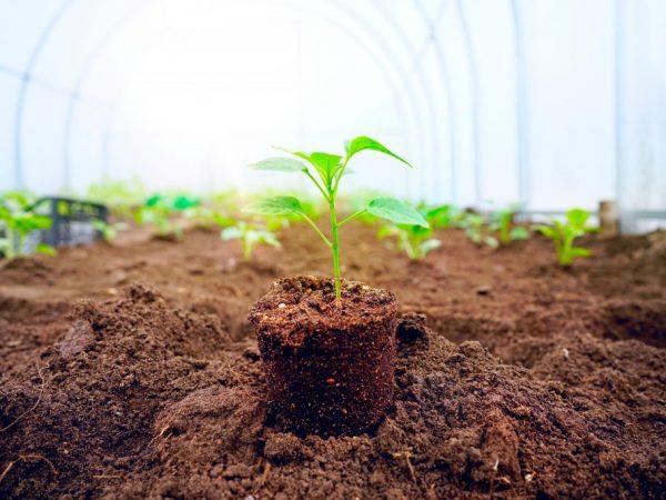 От расстояния между перцами зависит качество урожая