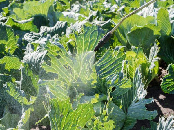 Опрыскивание капусты валерьянкой