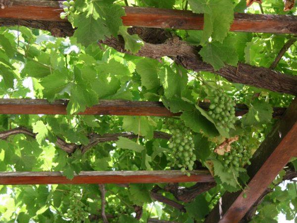 Обязательно обрабатывайте виноград