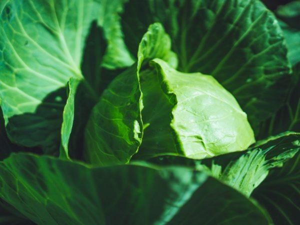 Характеристика капусты сорта Парел f1