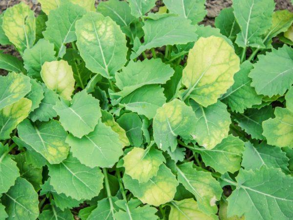 Причины пожелтевшей рассады капусты