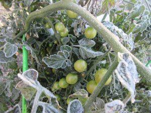 Замерзли помидоры