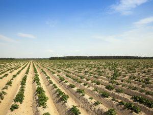 Принцип посадки картофеля по методу Митлайдера