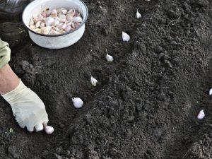 Правила посадки чеснока осенью в Башкирии
