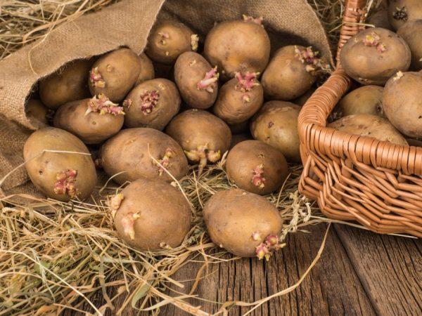 Правила посадки картофеля по методу Галины Кизимы