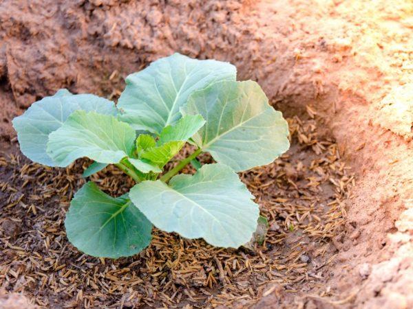 Лучшие сорта поздние капусты: посадка и уход