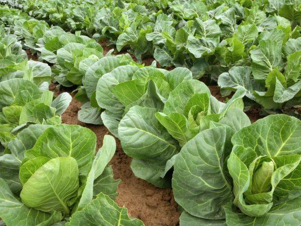 Сорт можно выращивать в любых регионах