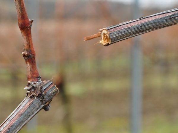 Правила прививки винограда весной
