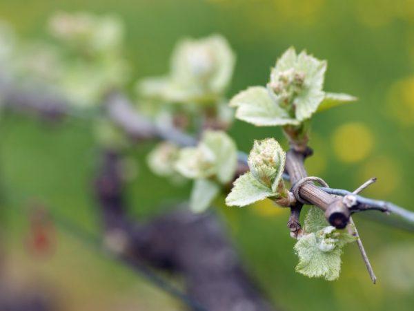 Прививают виноград одного цвета