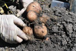Характеристика картофеля сорта Романо