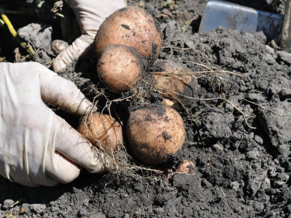 Характеристика сорта картофеля Романо