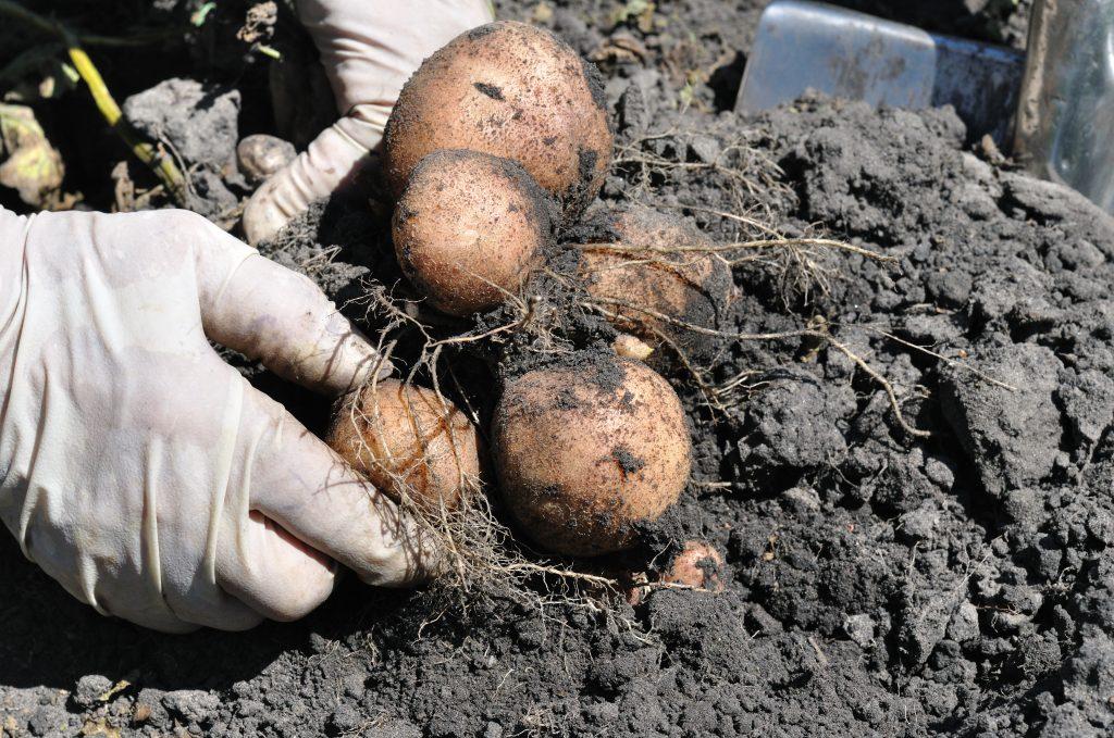 Описание сорта картофеля Романо особенности выращивания