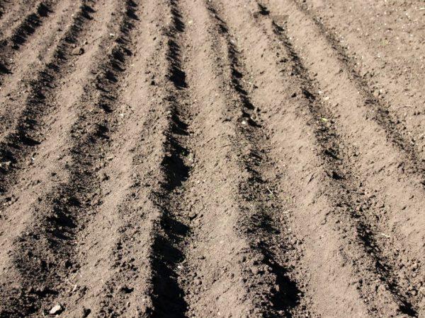 Для посадки картофеля выбирают солнечный участок
