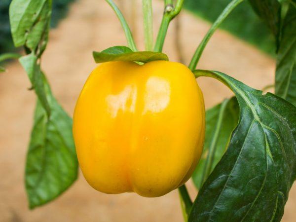 Сорт Альба отличается урожайностью