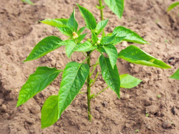 За растением нужно ухаживать