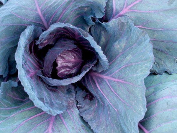 Синяя капуста обладает лечебными свойствами