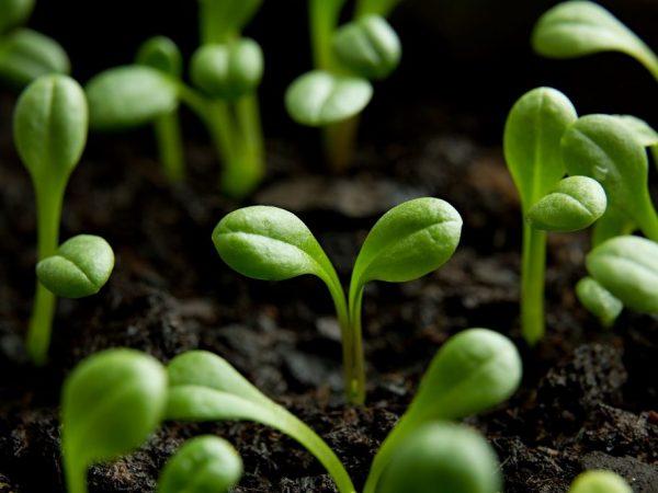 Все семена проросли