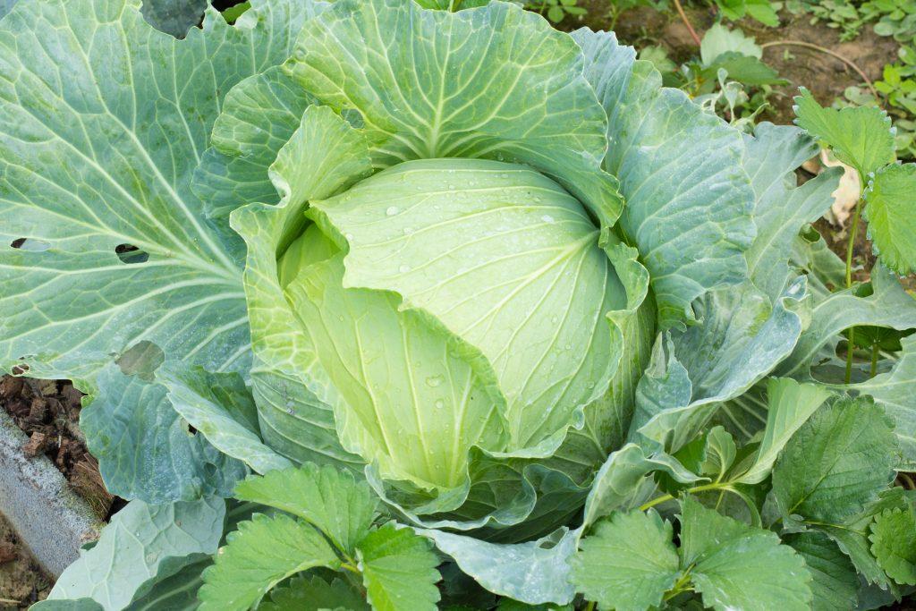 Капуста Слава - описание сорта, секреты выращивания, отзывы