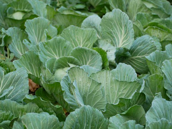 Хороший уход увеличит урожайность растений