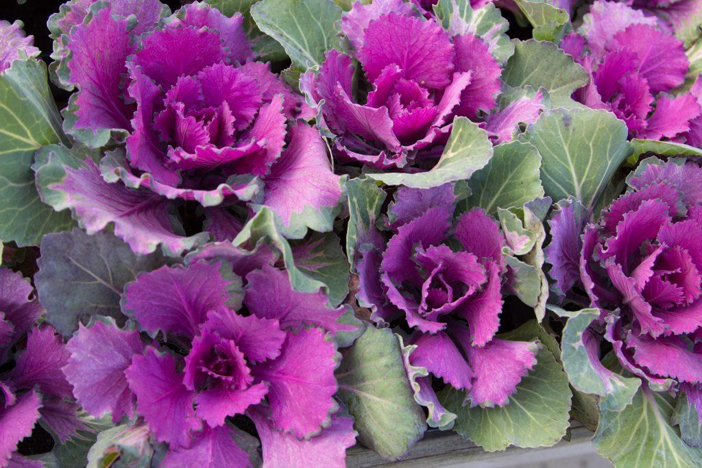 Декоративные цветы похожие на капусту