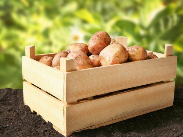 Лучшие сорта картофеля для Сибири