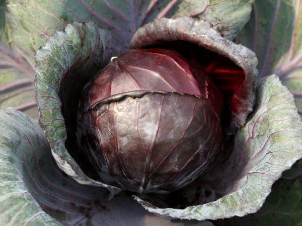 Сортов красной капусты много
