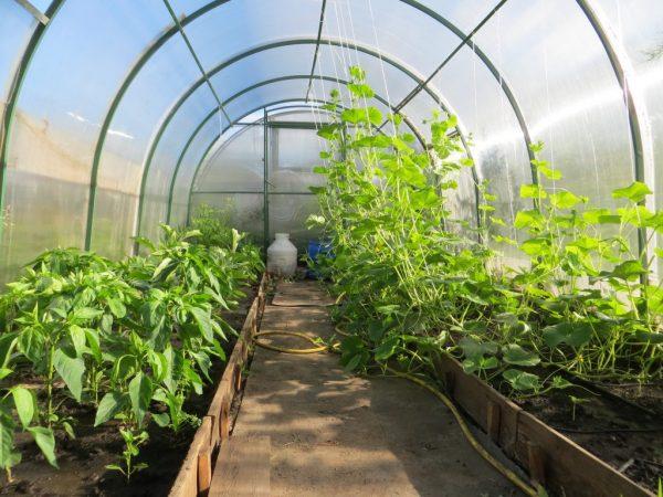 Место выращивания перца нужно менять каждый год