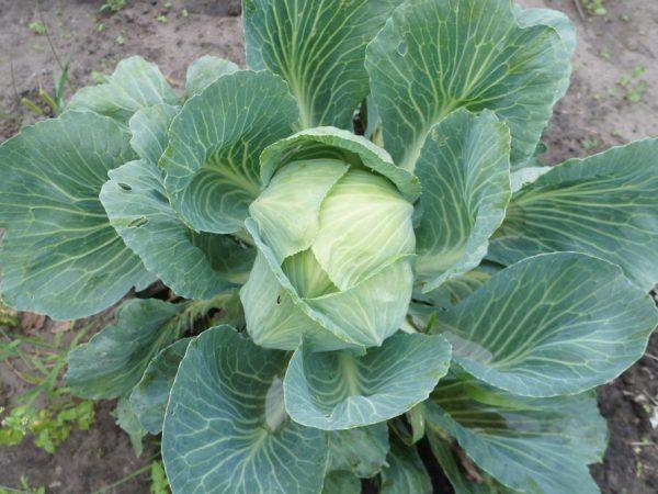 Среднепоздние сорта можно выращивать на любой территории