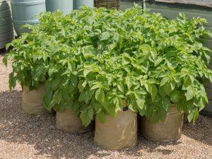 Эффективность технологии выращивания картофеля в мешках